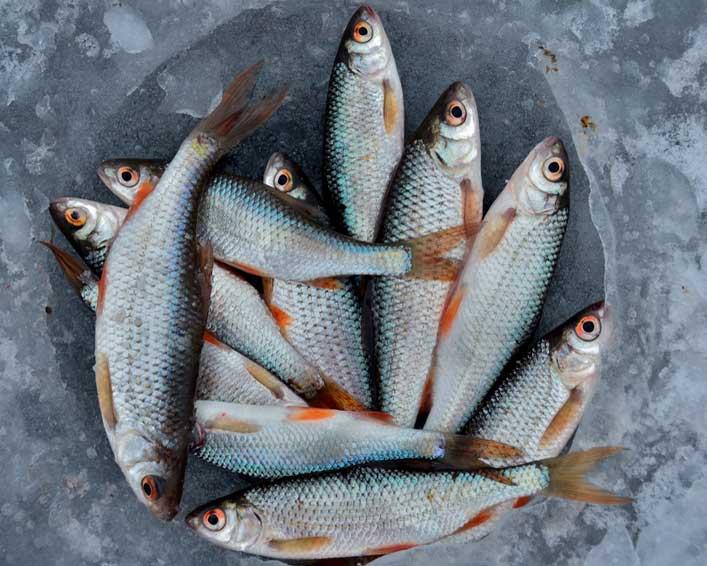 Jak długo mrozić ryby?